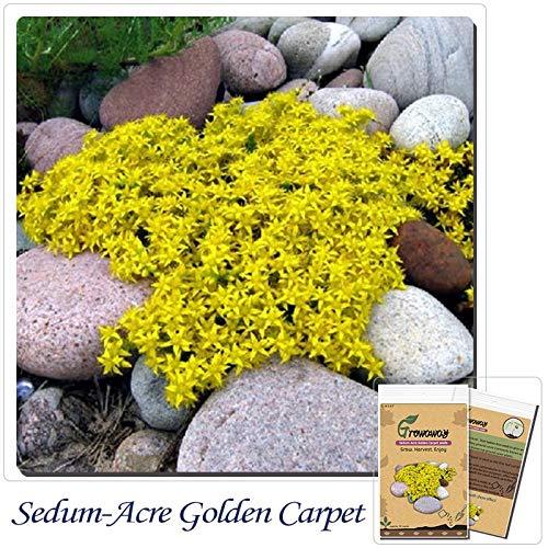 Blumensamen 50 Stücke Sedum-Acre Golden Carpet, gelbe Mauerpfeffer Bodendecker Blume Bonsai Samen