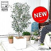 LAND PLANTS 観葉植物 オリーブ (白色) ファイバー キューブ 陶器鉢 鉢植え 軽量 株立ち