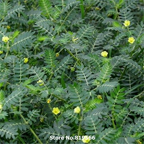 Immobilier chinois Tribulus terrestris Seeds Médecine Herb Tribulus végétales Sementes Courtyard Bonsai Cijili Outdoor Garden Herbal