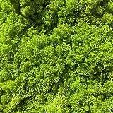 GJS Islandmoos - Moos in 1kg / 500g / 200g, versch. Farben - Echtes konserviertes Natur-Moos (Island) zum Basteln, Dekomoos für die Deko zu Ostern, Modellbau (hellgrün, 500g) - 2