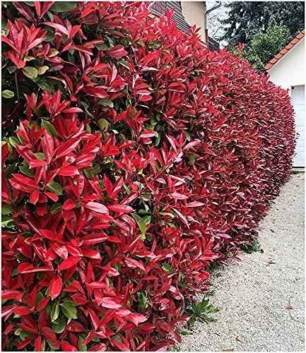 BALDUR Garten Immergrün Photinia-Hecke...