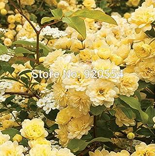 Rare flower,50pcs/lot Heirloom39;Lady Banks39; Yellow Climbing Rose Flower Seeds bonsai plant home garden