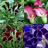 1pcs de la cala de los bulbos (no semillas) 13 tipos coloridos de la cala plantas en maceta Flores Raras envío gratuito