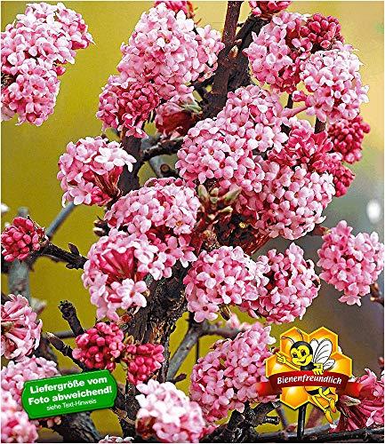 BALDUR Garten Duft-Schneeball Dawn,1 Pflanze, Viburnum bodnantense Winterschneeball