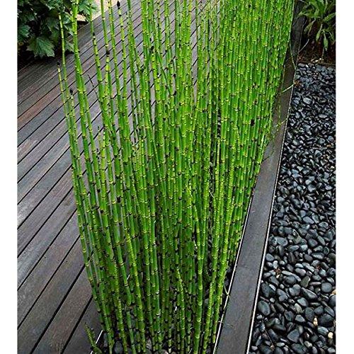 60PCS pueden cultivar en interior fresco de hoja perenne de bambú Moso semillas del árbol del jardín de DIY Semillas