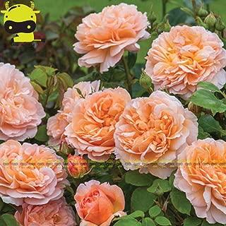 Rose Seeds Seed Plant Rare 'The Lady Gardener' Orange Ruby Rose Flower Seeds, 50PCS/Pack, David Austin Rose, Shrub English Rose for Home Garden Plant
