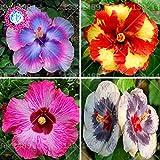 200 PCS semillas de flor de hibisco gigante mezclados plantas de la familia Hardy raras