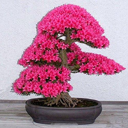 graines de sakura japonais, bonsaï fleurs Cherry Blossoms - 5 pcs / lot