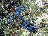 Juniper Communis, Juniperus Communis, Bayas utilizadas para hacer Ginebra!! 15 Semillas