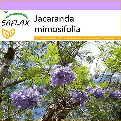 SAFLAX - Jacaranda - 50 semi - Jacaranda mimosifolia