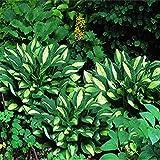 ypypiaol 500 Piezas De Color Mezclado Hosta Plantaginea Semillas Bonsai Planta Hogar Oficina Jardín Decoración Al Aire Libre Semillas de Hosta