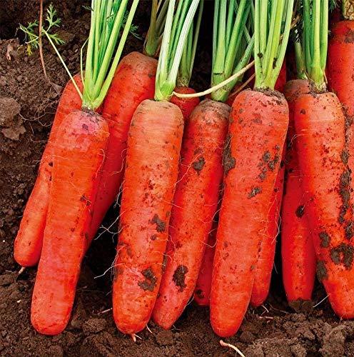 Portal Cool 100Pcs Karottensamen Nicht ohne Gentechnik Bio Bonsai Gesunde Garten Gemüsepflanzen