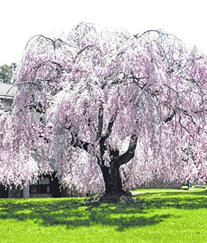 10 pièces de cerisier fontaine en pleurs, bricolage jardin arbre nain, ornemental planter des graines d'arbres bonsaï sakura pour la maison