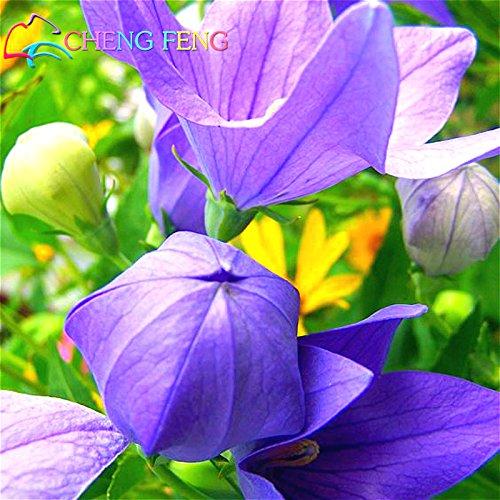 100 Bonsai Graines / Paquet Bellflower Balloon Flower Accueil Potted Platycodon Grandiflorus Médecine Santé Plantes Semences Du Japon