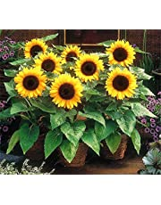 Airex Sunflower Miniature Summer Flower Seed (Pack of 40 Seeds Per Packet)