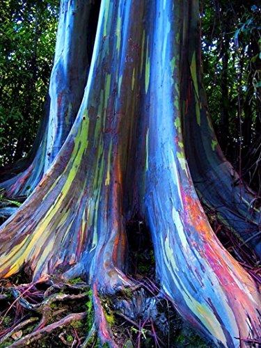 Rainbow Eucalyptus Deglupta 20 Seeds Multi-Hued Bark Colorful Tropical RARE Seeds