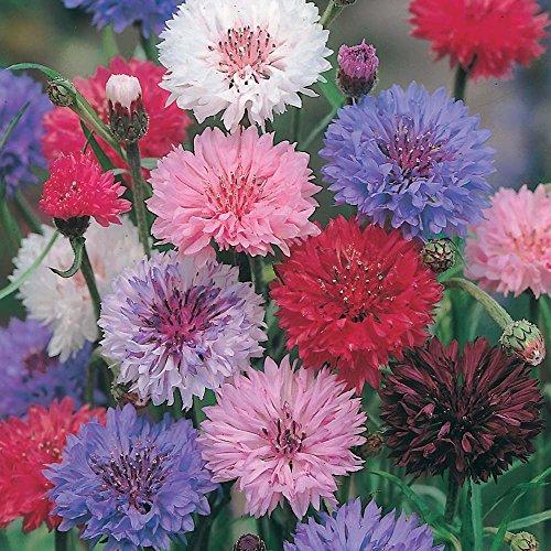 Lot de 100 graines de Centaurées à fleurs doubles - plantes annuelles