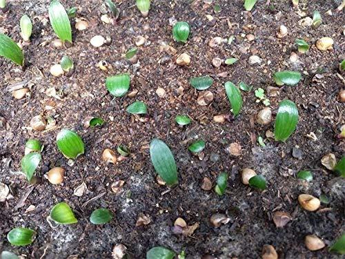 Fiori Bellissimi Fiori,Confezione da 5 Semi di Clivia in Vaso Grande Fiore Verde in Vaso Clivia,perenne per Il Giardino Fiori Semi