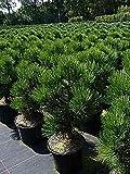 Baumschule Pflanzenvielfalt Bosnische Zwergkiefer Malinki - Pinus leucodermis Malinki 25-30cm