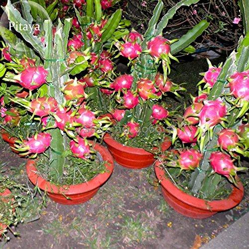 Pinkdose® 2018 Heißer Verkauf Hai'nan Rosa Pitaya Drachenfrucht Kaktus Pflanze, 100 Samen, Bonsai Lecker Süße Pitaya E3960