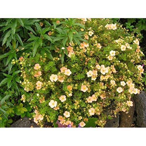 white saucer shaped flowers in summer hardy outdoor garden bush Garden Shrub Plants Potentilla Abbotswood