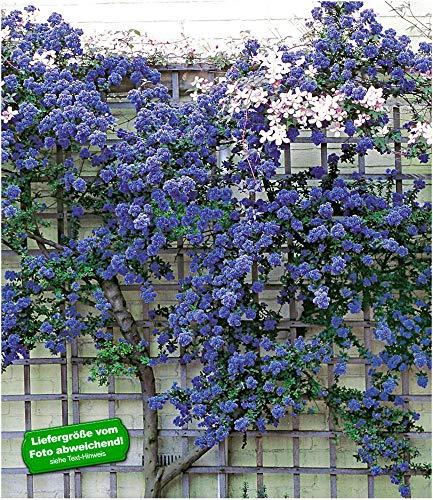 BALDUR Garten Immergrüne Säckelblume Ceanothus 'Trewithen Blue', 1 Pflanze, winterhart, Kletterpflanze