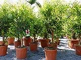 XL Punica Granatum 160-180 cm Granatapfelbaum Obstbaum Obst Apfelbaum Apfel