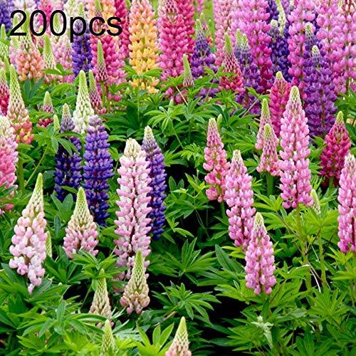 ZqiroLt 200 Stück Gemischte Lupinensamen Lupinus Blume Hausgarten Balkon Bonsai Pflanze Dekor Balkon, Dach, Garten Einfach Zu Pflanzen, Zierpflanze Lupinensamen Zufällige Farbe