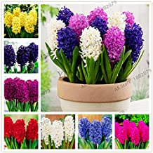 Fruiting Craspedia Globosa 100pcs/bag New Cheap Hyacinth Plants, Hyacinth Potted Seed, Bonsai Flower Plantas for Home Garden,Easy to Plant (Mix Color)