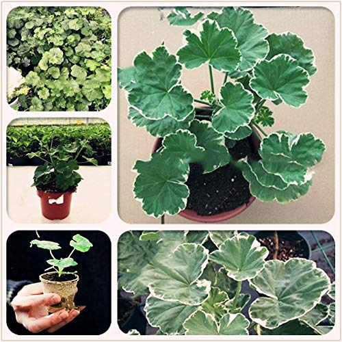 Pinkdose 50 stücke Navy Geranium Bonsai Pflanzen Thailand Mehrjährige Pelargonium Helle Bonsai Blume Hausgarten Gewächshaus Pflanzen: mischen