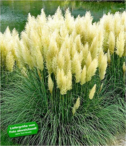 BALDUR-Garten Weißes Pampasgras, 1 Pflanze Cortaderia selloana Ziergras