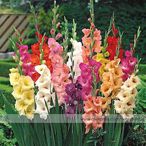 Différentes vivaces Graines Gladiolus fleurs, 1 Professional Pack, 50 graines / Pack, Rare Seeds Epée Lily # NF563