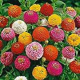 David's Garden Seeds Flower Zinnia Mixed Colors Lilliput 1138 (Multi) 200 Non-GMO, Open Pollinated Seeds