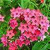 Nuovo impianto di arrivo semi Phlox Four Seasons semina di piante Bonsai in vaso per la casa giardino 100 semi / pacchetto fai da te #1