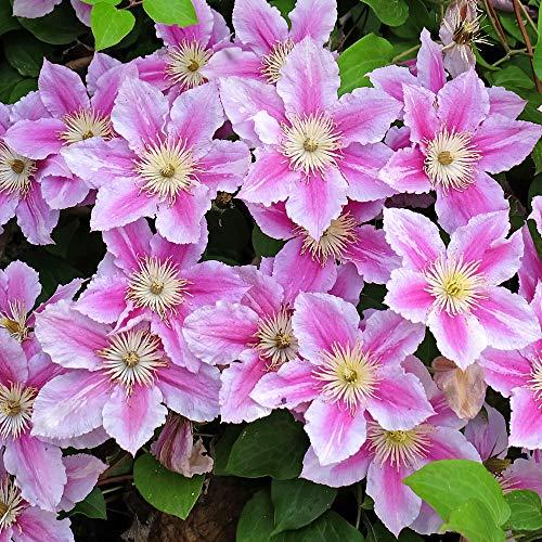 Clematis Piilu   Deciduous Dense Hardy Large Flowering Garden Shrub in Pot