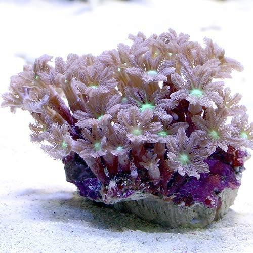 (海水魚 サンゴ)沖縄産 ツツウミヅタ ヘアリーセンターグリーン Sサイズ(1個) 本州・四国限定[生体]