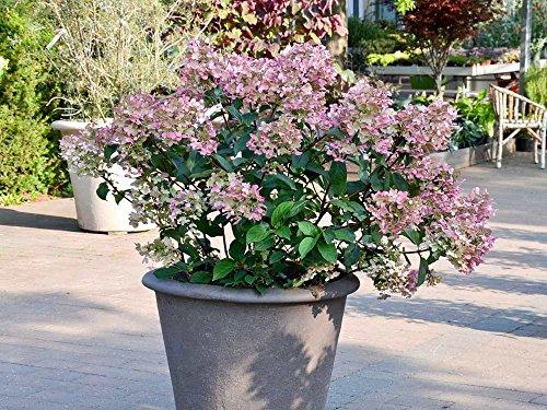 Rispenhortensie 'Wims Red' - Blüte rosa & weiß - Hydrangea paniculata Wims Red - Containerware 40-60 cm - Garten von Ehren®