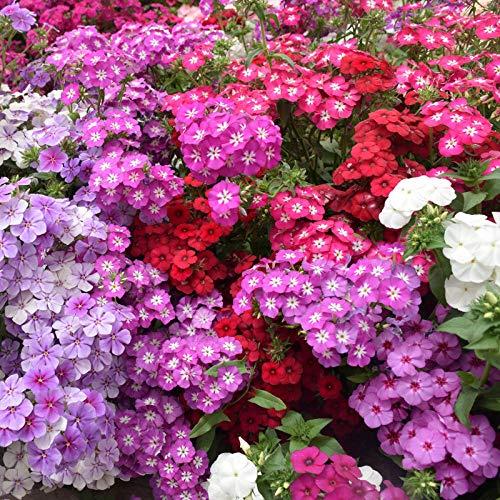 Eastbride Frühling Blumen mehrjährig...