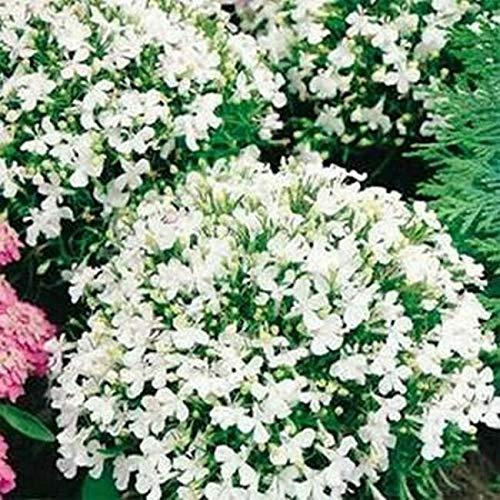 Lobelia- White Lady- 100 Seeds - Seeds for Planting Home Gardens - Easy Grow