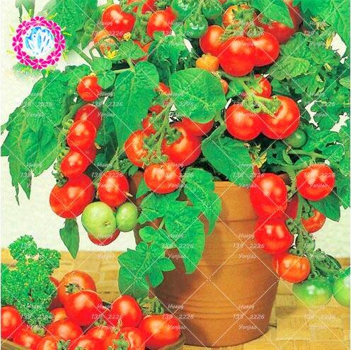 200pcs Rare tomate jaune Graines Bonsaï Graines de tomate Mini pot doux fruits légumes de plantes d'intérieur Tomate biologique