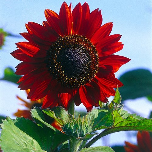Sonnenblume, 'Moulin Rouge' , Mischung
