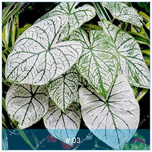 ShopMeeko SEEDS: ZLKING 100pcs Schöne Caladium Bonsai voller Vitalität Indoor Topfpflanzen Evergreen Dekoration: Caladium 3