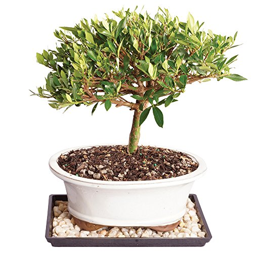 Brussel's Live Gardenia Outdoor Bonsai Tree - 8 Years Old; 8' to 12' Tall with Decorative Container, Humidity Tray & Deco Rock - Not Sold in Arizona