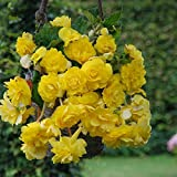 Yellow Pendula Begonia, Beautiful Yellow Flowering Bulb, Plant, Flower, Seeds,Bulbs,Plants,&More