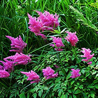 Callistephus Chinensis Flower Astilbe Hot Sale Rare Purple Astilbe Chinensis Balcony Garden Patio Potted Plants Chinese Astilbe 120PCS