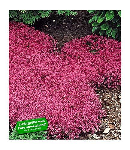 BALDUR-GartenBodendecker-Thymian Thymus, 6 Pflanzen winterhart