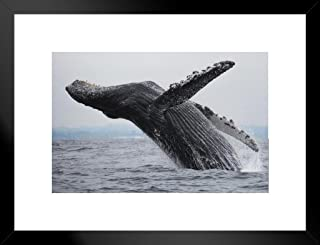 Poster Foundry Humpback Whale Breaching Photo Art Print Matted Framed Wall Art 26x20 inch