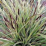 3 x Carex Morrowii 'Variegata' - Japansegge Variegata Pflanzcontainer 3L