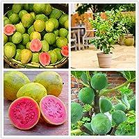 EgBert 30 Unids/Pack Semillas de Guayaba Tropical árbol de Frutas Dulces Plantas Semillas para jardín balcón Patio