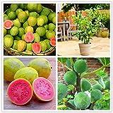 CER0T Egrow 30 PC/paquete de guayaba semillas de árboles de frutas tropicales dulce plantas con semillas para el jardín Balcón Patio